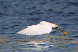 _MG_7137 Snowy Egret.jpg
