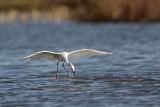 _MG_7157 Snowy Egret.jpg