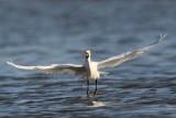 _MG_7158 Snowy Egret.jpg