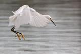 _MG_0815 Snowy Egret.jpg