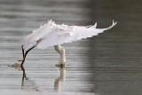 _MG_0816 Snowy Egret.jpg