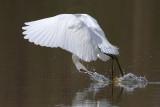 _MG_1582crop Snowy Egret.jpg