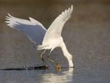 _MG_5861 Snowy Egret.jpg