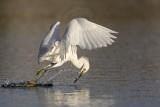 _MG_5862 Snowy Egret.jpg