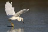 _MG_5894 Snowy Egret.jpg