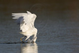 _MG_5895 Snowy Egret.jpg