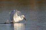 _MG_5896 Snowy Egret.jpg