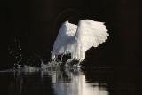 _MG_6077 Snowy Egret.jpg