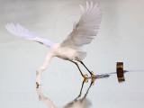 _MG_9792 Snowy Egret.jpg