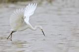 _MG_0331 Snowy Egret.jpg