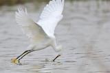 _MG_0332 Snowy Egret.jpg