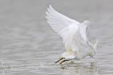 _MG_0649 Snowy Egret.jpg