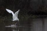_MG_0733 Snowy Egret.jpg