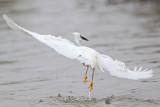 _MG_7485 Snowy Egret.jpg