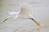 _MG_7567 Snowy Egret.jpg