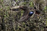 Possible American Black Duck (Anas rubripes) – Upper Texas Coast