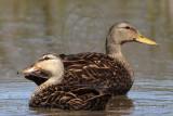 Mottled Duck (Anas fulvigula) – Upper Texas Coast