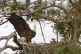 Bald Eagle – Head-Throwback Display when calling with raised wings– on nest - March 2010