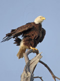 Bald Eagle – Full body shake- March 2010