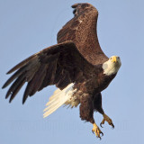 Bald Eagle – On the wing - March 2010