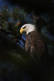 Bald Eagle – Portraits - March 2010