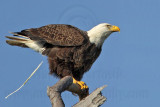 _MG_0130 Bald Eagle.jpg