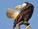 Bald Eagle – Preening - March 2010