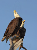Bald Eagle – Head-Throwback Display when calling on perch - March 2010