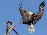 Bald Eagle – Landing on perch – Baytown March 2010