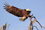 Bald Eagles -Baytown Nest April 3, 2010