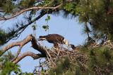 Bald Eagles -Baytown Nest April 5, 2010