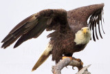 Bald Eagles - Baytown Nest April 7, 2010