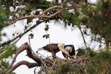 Bald Eagles - Baytown Nest April 8, 2010