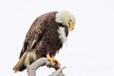 Bald Eagles - Baytown Nest April 9, 2010