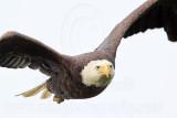 Bald Eagles - Baytown Nest April 12, 2010