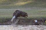 Bald Eagles - Baytown - Pair Bathing, April 13, 2010
