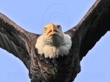 Bald Eagles - Baytown Nest April 14, 2010