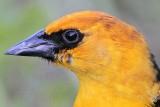 Yellow-headed Blackbird - Quintana April 24, 2010