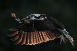 Osprey - in special light