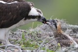 Osprey - feeding chicks (2.5 weeks old)