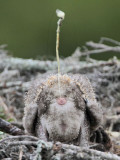 Osprey - Chick: defecation  over the edge of the nest