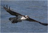 balbuzard  osprey 3.JPG
