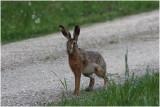 lièvre -  hare.JPG