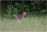 renard -  fox 3.JPG