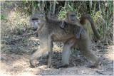 babouin -  baboon.jpg