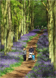 Ashridge bluebell woods