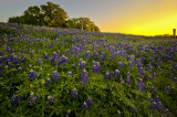 Bluebonnet Trail & Ennis, Texas