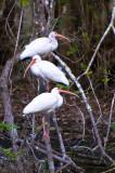 White Ibises 2