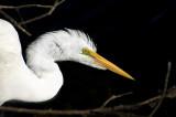 Great Egret 6