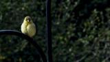 Yellow Fluffball.jpg